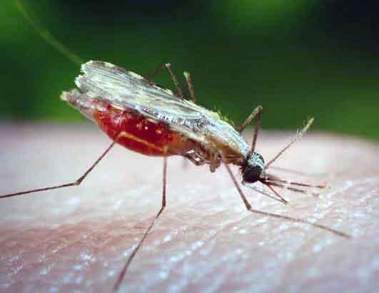 Комар малярия фото
